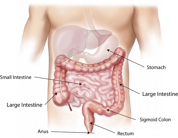 Digestion and Metabolism are Linked